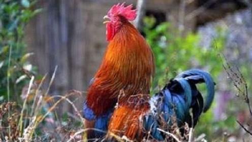 为什么公鸡每天能准时打鸣,难道它会算时间?看完再次涨知识了!