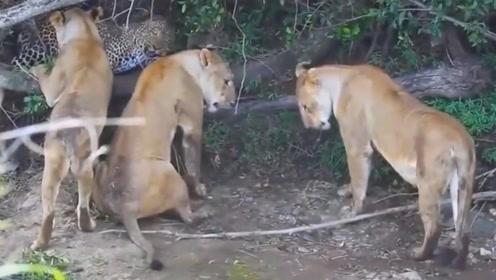 疯狂的花豹,敢单挑3头狮子,镜头拍下全过程