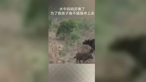 水牛妈妈好厉害,为了保护小牛犊,把狮子收拾了!