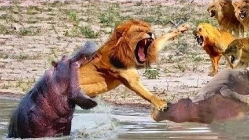 """狮子挑战河马,接下来秒变成""""狮子头"""",镜头记录下来全过程!"""