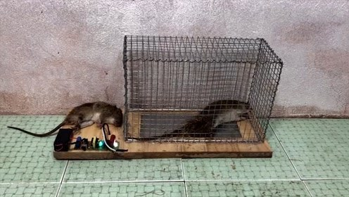 捕鼠陷阱,老鼠还没反应过来,就这么安详的走了
