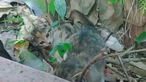 失去猫妈妈的小猫,栖息在院外的灌木丛中还在等妈妈回来,好可怜!