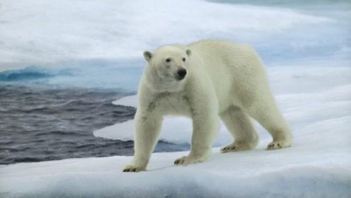 """北极熊""""人设""""崩塌!竟然不是白色的,毛发也不是保护色"""