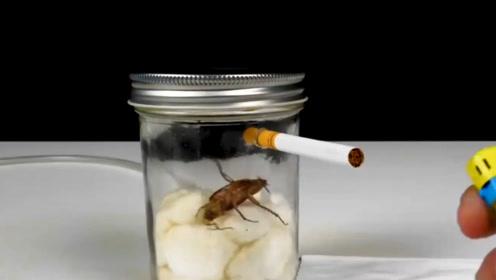 让一只小强连续抽20根烟,会发生什么反应?看完你还敢抽烟吗?
