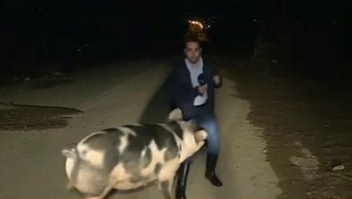主持人直播连线报道灾情,却被母猪追着跑,演播室主持笑了