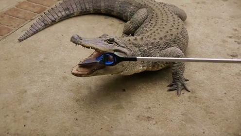 为测试鳄鱼的咬合力,小伙把手机放入鳄鱼嘴中,结果吐出来时看傻了!