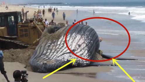 鲸鱼一心求死,拼命往岸上游,专家剖开肚子后脸色大变!