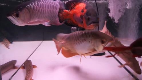 活生生的小龙虾,放入鱼缸瞬间没影了!