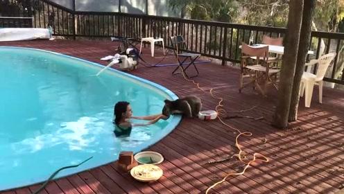 暖化!小考拉到泳池要水喝 还跟美女要亲亲