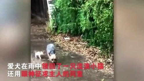 暖心!狗狗雨中把流浪小猫领回家 还用眼神征求主人同意