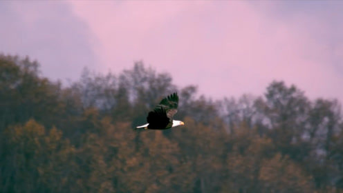 """猛禽中的""""战斗机"""",被称为秃鹫的祖先,站在自然界的食物链顶端!"""