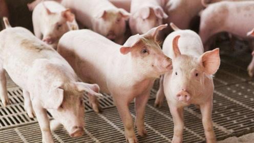 美国是养猪大国,却不吃猪肉,看完涨知识了!