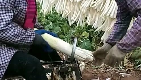 辣花萝卜是这样切出来的,今天总算见到了,真佩服农民伯伯的智慧!
