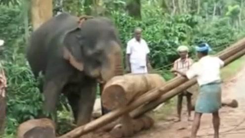 木头太重村民们装不上车,大象用鼻子轻松把木头装上车