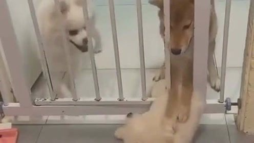 小奶狗想跑出去玩,没想到被狗妈妈一把抓住不让出去,看着好可怜!
