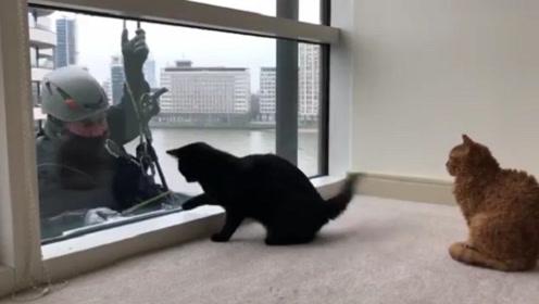 猫咪看到蜘蛛人擦玻璃,下一秒,请憋住别笑,这家伙太逗了