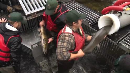 为了让鱼顺利通过大坝,安全产卵,美国人专为它们打造过山车