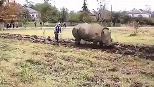 老外:犀牛也叫牛,用来耕地,应该没啥毛病吧?