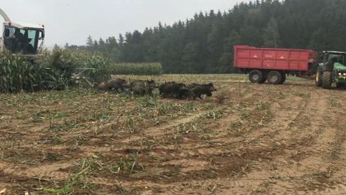 农场主正在收玉米,忽然一大群野猪冲出来,感觉亏大了