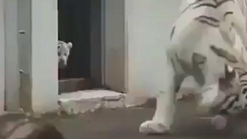 """老虎被吓得一激灵:算了算了,默念三遍""""虎毒不食子""""吧!"""