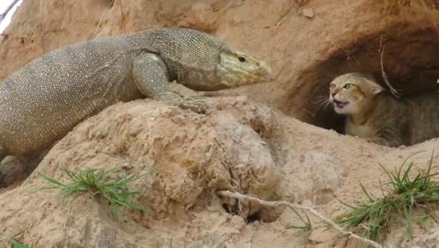 科莫多巨蜥袭击猫窝,猫妈妈奋力反抗,保护孩子的那股劲令人感动!