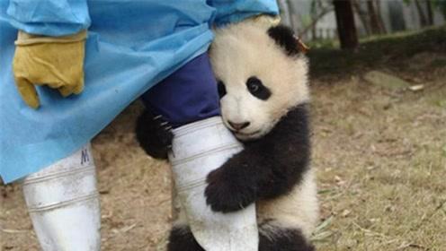 """全球唯一被""""退货""""的熊猫,原因让人哭笑不得,网友:不愧是国宝!"""
