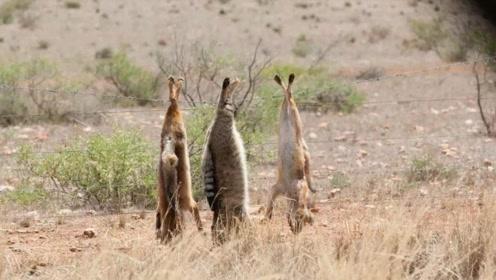 澳洲地区最可怕的动物,政府不惜一切代价,只为了消灭它们