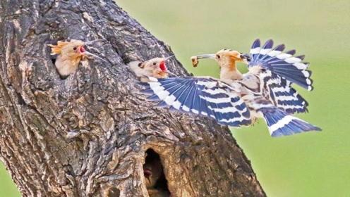 这种鸟身上是奇臭无比,很多人把它认成啄木鸟,真实名字很少人知道