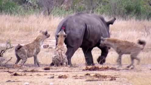 """5只鬣狗掏肛受伤犀牛,犀牛却淡定吃草,鬣狗:这是""""不锈肛""""!"""