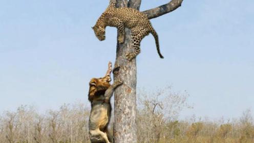 狮子上树夺食,可怜的豹子白忙活一场!