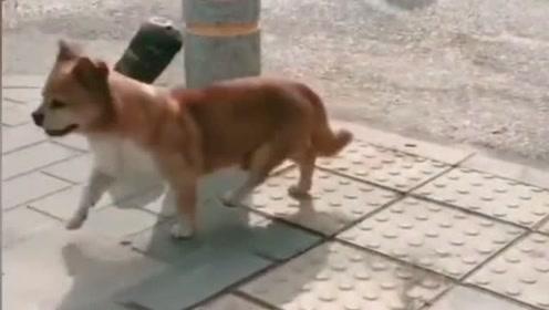 我家的狗子只要看到别的狗,就会这样走路,咱也一直不知道为什么!