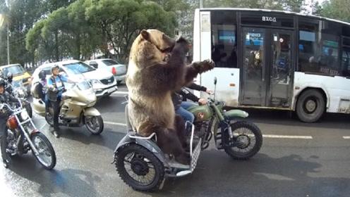 熊在俄罗斯有多卑微?照顾主人出行,还得为主人解闷,确定这是熊?