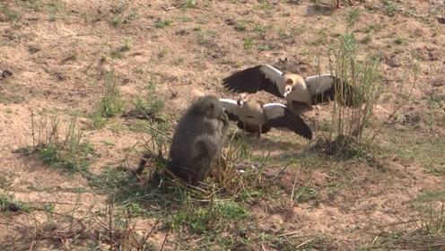 狒狒想要捕鹅吃,怎料鹅也不是好惹的,剧情反转太快了