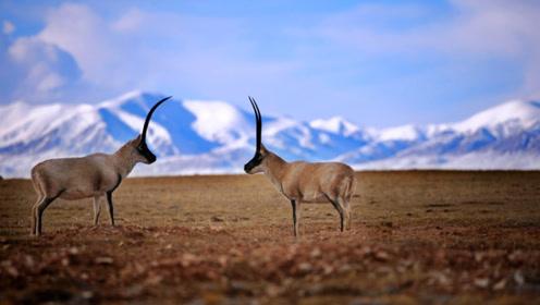 世界上交配时间最长的动物,交配期长达21天,却是中国特有物种