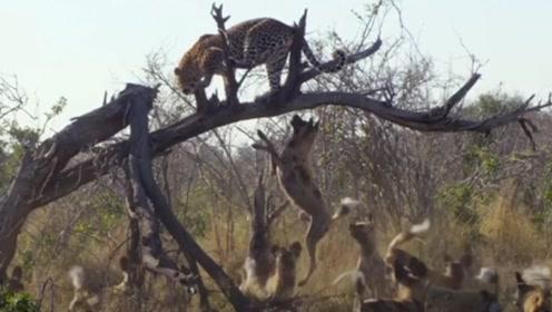 十几只野狗包围豹子,要把它从树上扯下来,豹子吓得瑟瑟发抖