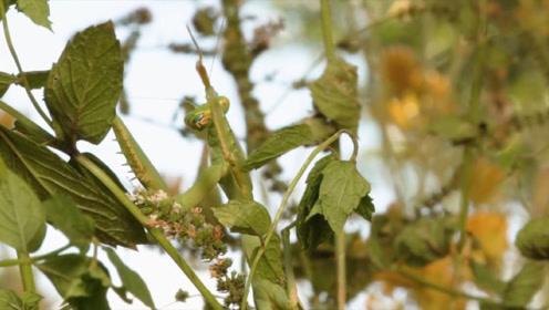 螳螂遇到水蛭会怎样?一言不合就开干,结果却让人意外!