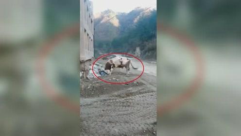 耕牛疑受惊吓失控!回家途中竟撞死养了自己3年的60岁主人