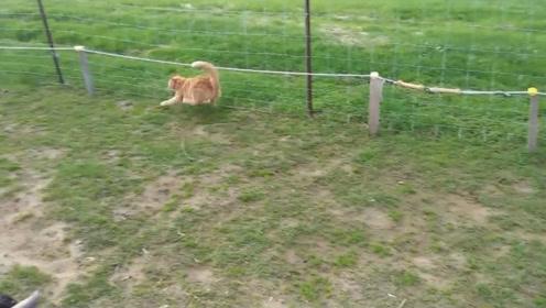贪吃!绵羊跑到电网下面吃草,电光一闪悲剧了