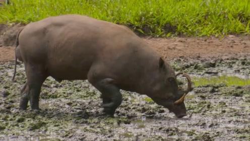 世界上对自己最狠的猪,牙齿顶穿上颚,只为了吸引雌性