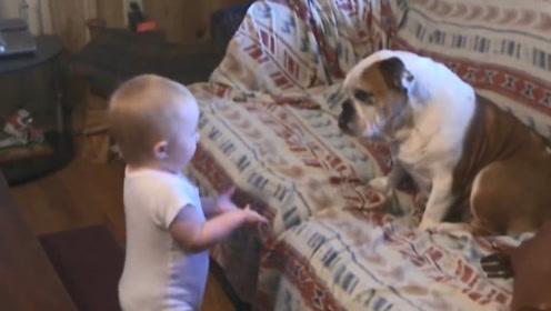 妈妈听到客厅很闹,小宝宝和斗牛犬竟然在吵架,下一秒憋住别笑!