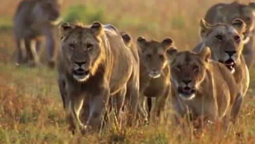 虽说狮子是草原之王,但王者也有怂的时候,到嘴的鸭子竟全飞了