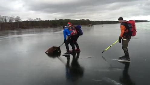 猪莫名其妙的跑到冰面上,十分的逗比,镜头记录全过程