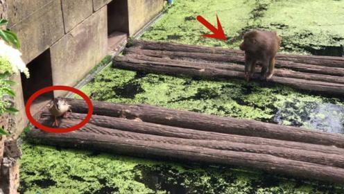一群鸭子不小心闯进狒狒的领地,结果悲剧了,镜头记录全过程