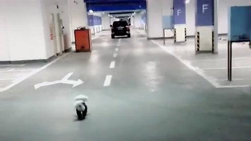 每天主人出门,狗狗都会在地下停车场追一段路,实在是忍受不了分开的痛苦!