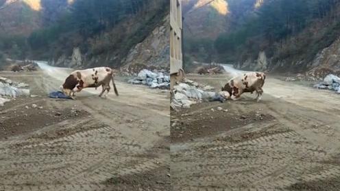 悲惨!老农采石场旁被自家耕牛撞死,家属质疑是工地噪音惊扰导致