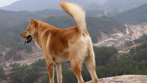 为您解答中国警犬为何从不使用土狗,难道不够聪明?