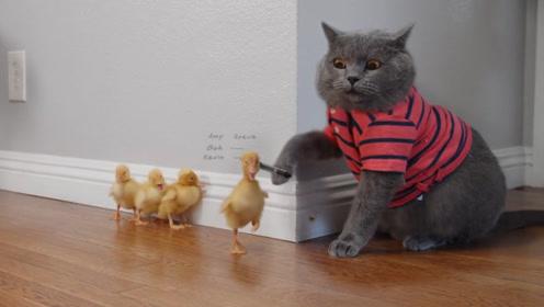 母爱泛滥的猫咪,收养4只小鸭子,天下当妈的都是它这样!