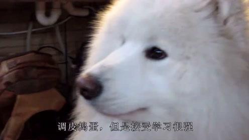 萨摩小时候酷似小白狐,网友:你是不是小狐狸派来的卧底
