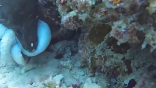 强大的鳗鱼,轻易的捕食章鱼,镜头记录全过程