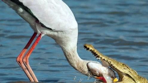 这是什么鸟胆子真肥!居然把头伸进鳄鱼的嘴里抢食,真强悍!